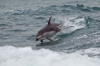 Dolphin Watching Virginia Beach
