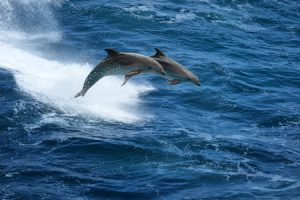 Common Dolphin Behaviors